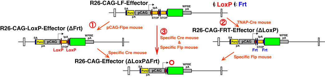 MGI-Mouse Strains, SNPs & Polymorphisms