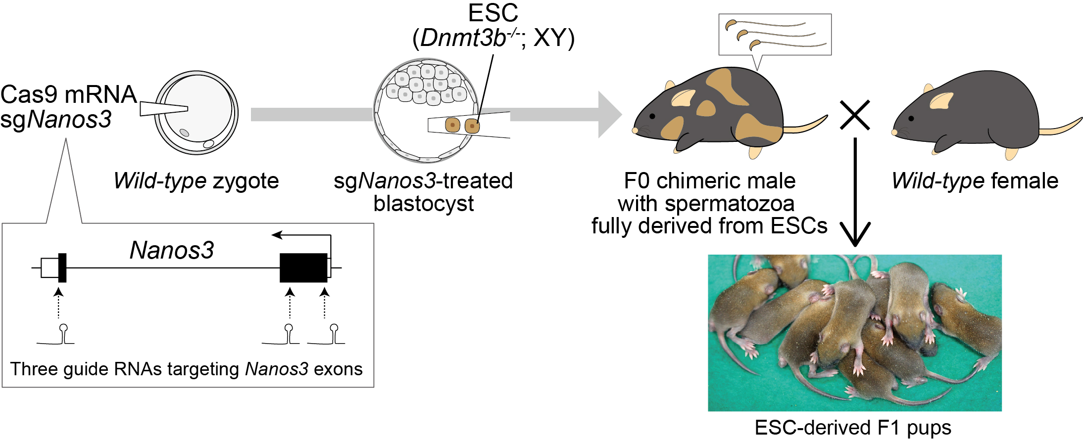 Generation of chimeric mice