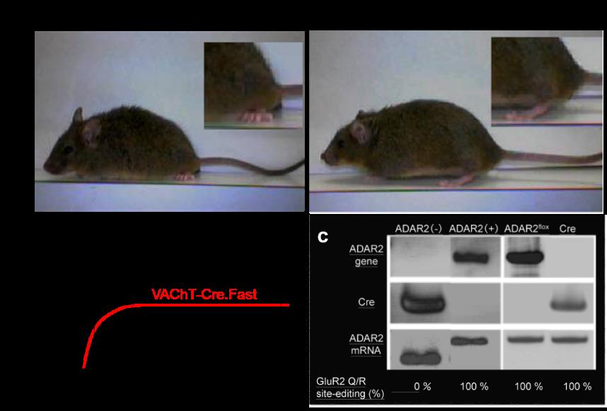november 2015 pathomechanistic model mice of sporadic als